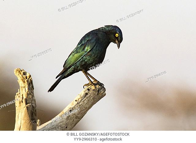 Cape glossy starling (Lamprotornis nitens) - Onkolo Hide, Onguma Game Reserve, Namibia, Africa