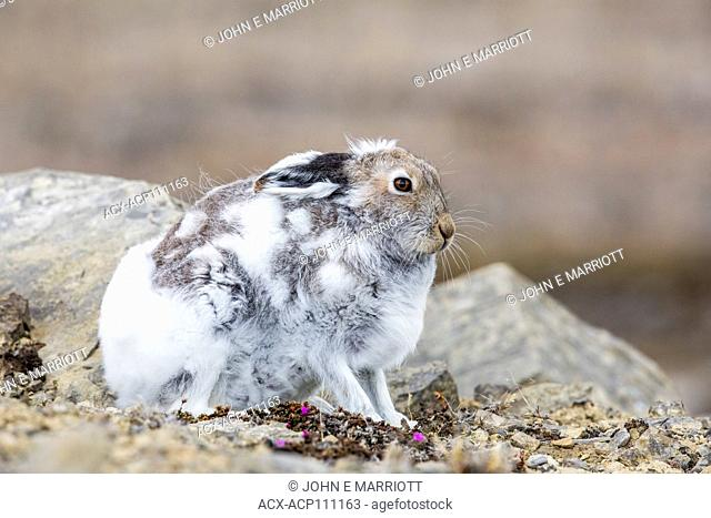 Arctic hare on Somerset Island, Nunavut