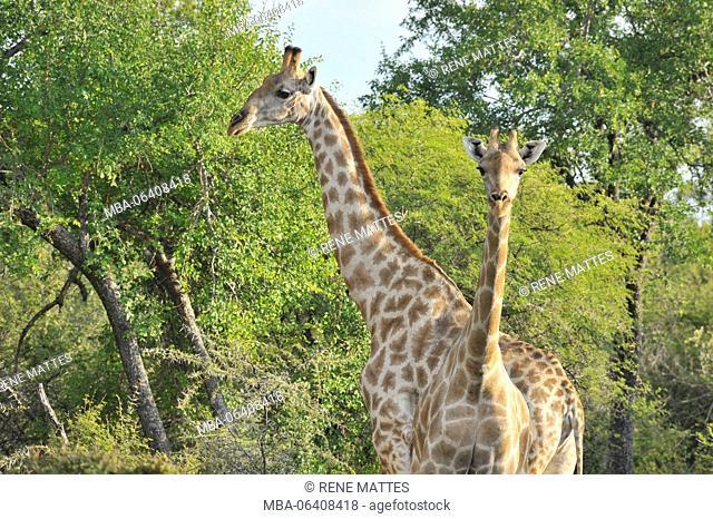 Namibia, Kunene, Etosha National Park, giraffe (Camelopardus)