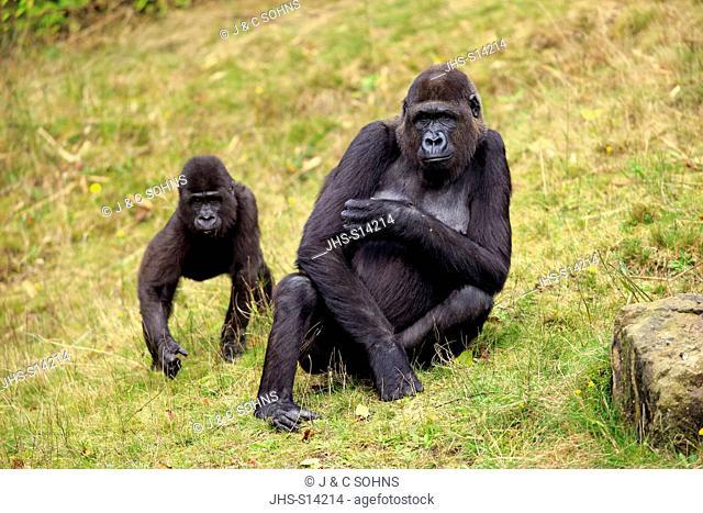 Lowland Gorilla, (Gorilla gorilla), adult female with young, Africa