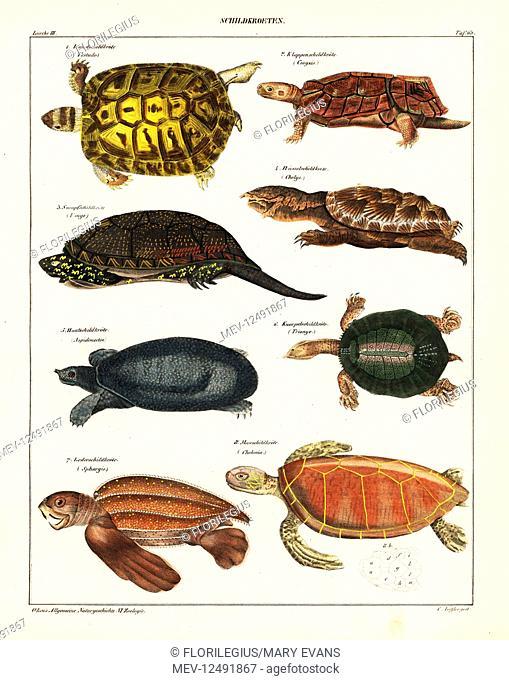 Greek tortoise, Testudo graeca, land tortoise, Cinyxis, European pond turtle, Emys orbicularis, matamata, Chelus fimbriata, Florida softshell turtle