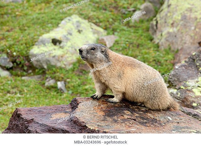 Groundhog at the Vernagt hut, Ötztal Alps, Tyrol, Austria