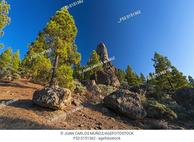 Canarian pine, Roque Nublo sacred mountain, Tirajana ravine, Gran Canaria Island, The Canary Islands, Spain, Europe