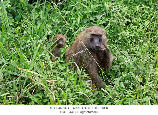 Olive baboon, Papio Anubis, Olive baboons are widespread throughout equatorial Africa and are found in 25 countries. From the west coast of Africa moving...