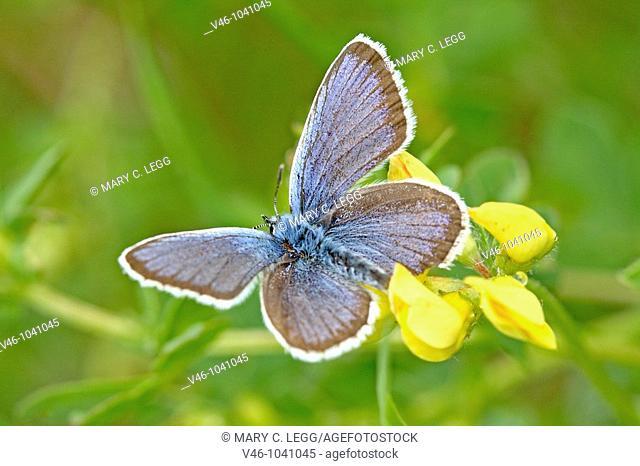 Silver-studded Blue, Plebejus argus on purple wildflower  Upper wings  Male  Milovice, Czech Republic