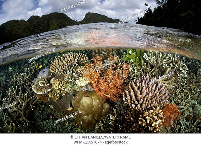 Diverse Corals on Reef Top, Misool, West Papua, Indonesia