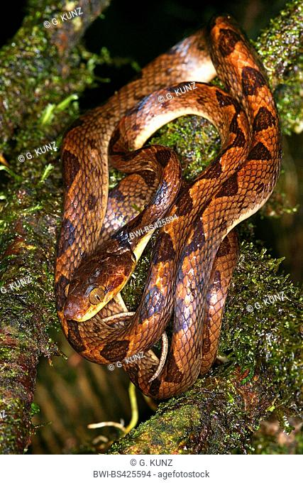 Northern cat-eyed snake (Leptodeira septentrionalis), rolled-up on a branch, Costa Rica