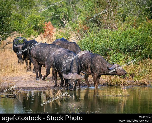 African buffalo or Cape buffalo (Syncerus caffer) herd at waterhole. Mpumalanga. South Africa