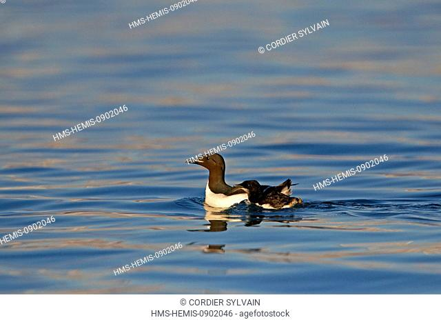 Norway, Svalbard, Spitsbergern, Thick billed Murre or Brunnich's Guillemot (Uria lomvia)