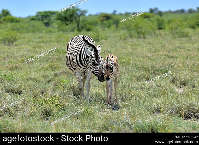 Zebra mare (Equus quagga) with her foal in Etosha National Park, taken on March 5th, 2019. With more than 22, 000 square kilometers, the Etosha National Park