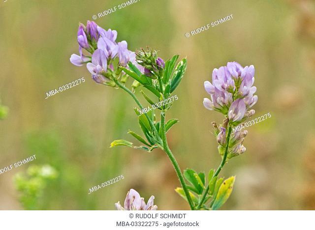 Alfalfa medicago sativa luzerne medicago sativa stock photo alfalfa blossoms medicago sativa mightylinksfo