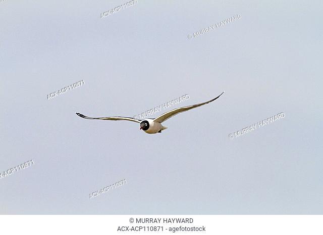Franklin's Gull (Leucophaeus pipixcan) In flight, against blue sky, Frank Lake, Alberta, Canada