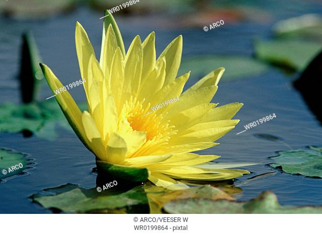 Water-lily,Nymphaea, spec