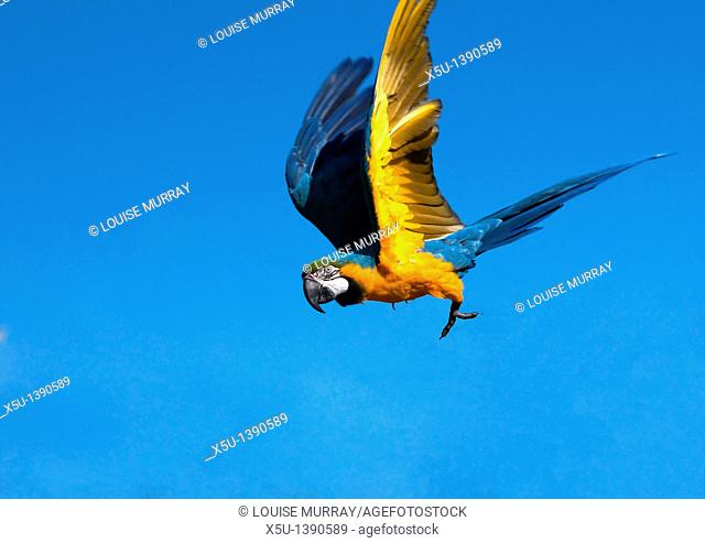 Blue and yellow macaw in flight  Also known as the Blue and gold macaw, this South American parrot can reach 85cm long and 1 3 kilos in eight  These parrots are...