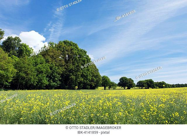 Rape field at the edge of a wood, Putbus, Rügen, Mecklenburg-Western Pomerania, Germany