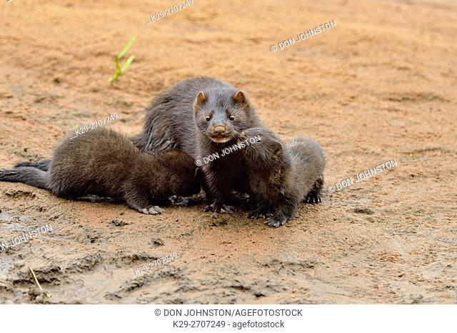 Mink (Mustela vison) Mother and pups, captive, Minnesota wildlife Connection, Sandstone, Minnesota, USA