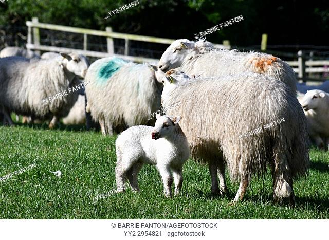Lamb With Sheep Waiting to be Sheared, Sheep Farm, Snowdonia, Wales