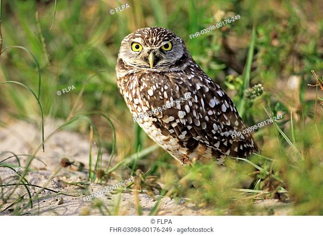 Burrowing Owl Speotyto cunicularia adult, Cape Coral, Florida, U S A