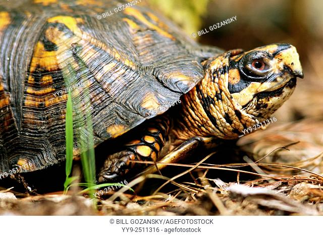 Eastern Box Turtle - Brevard, North Carolina USA