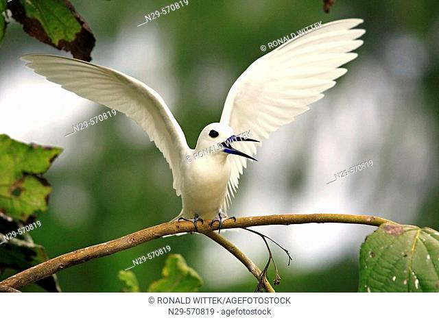 Fairy Tern (Gygis alba monte). Bird Islands. Seychelles