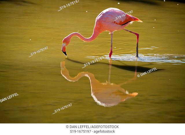 Flamingo in Wild, Galapagos Islands