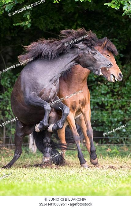 Icelandic Horse. Bay and black horse fighting on a pasture. Germany