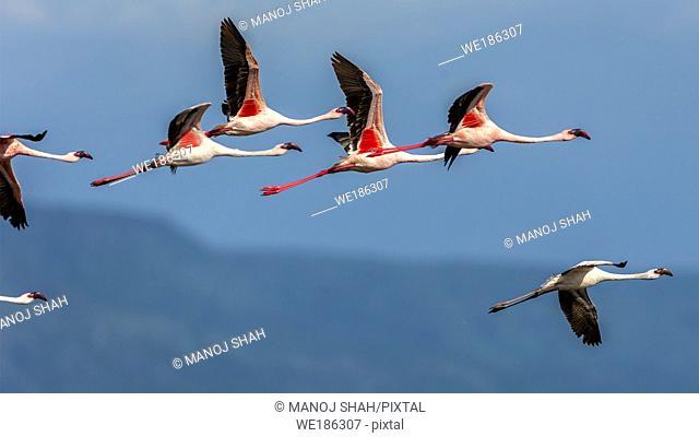 Lesser flamingos in flight over lake Bogoria, Kenya