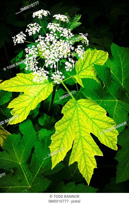 Cow parsnip in bloom. Heracleum maximum