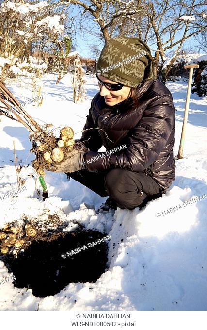 Man harvesting Jerusalem artichoke tubers in winter