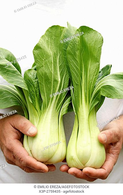 Pakchoi, Chinese cabbage