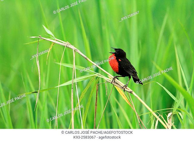 Red-breasted blackbird (Sturnella militaris). Peninsula de Osa, Costa Rica
