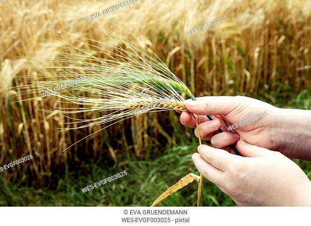 Man's hand holding ripe and unripe spike of barley