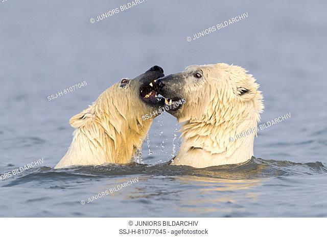 Polar Bear (Ursus maritimus, Thalarctos maritimus). Two individuals playfighting in shallow water. Kaktovik, Alaska. Every fall polar bears gather near Kaktovik...