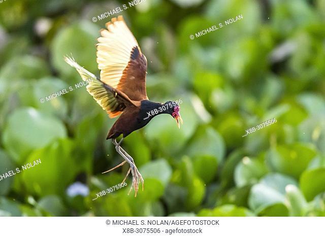 Adult wattled jacana, Jacana jacana, in flight, Pouso Alegre Fazenda, Mato Grosso, Brazil