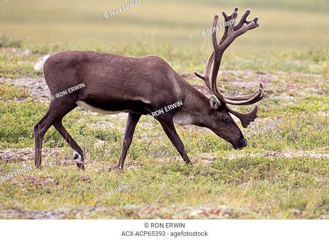Barren-land caribou (Rangifer tarandus groenlandicus) in the Porcupine herd on the tundra in the Arctic near Fort McPherson, Northwest Territories, Canada