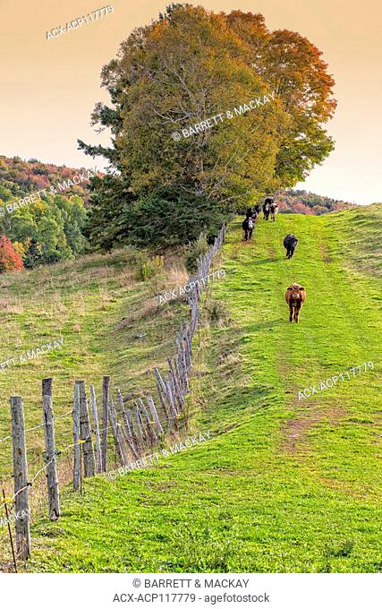 Cattle, St. Catherines, Prince Edward Island, Canada