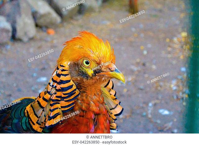 close-up portrait of the male golden pheasant - Chrysolophus pictus