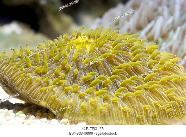 Mushroom Coral (Fungia spec.), side view