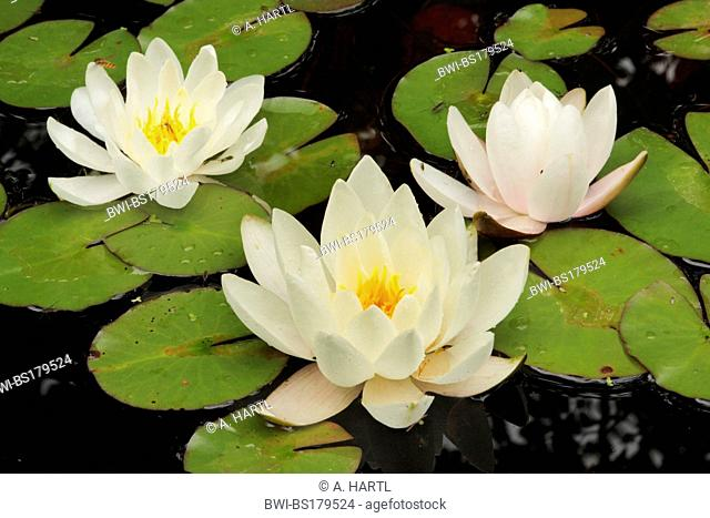 white water-lily, white pond lily (Nymphaea alba), three flowers on floating leaves, Germany, Bavaria