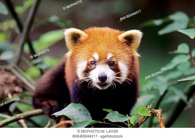 lesser panda, red panda (Ailurus fulgens), sitting in a tree, national animal of the Indian province Sikkim, China, Sichuan, Chengdu