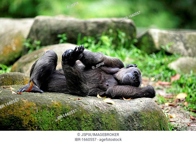 Central African Chimpanzee (Pan troglodytes troglodytes), adult female lying, Africa