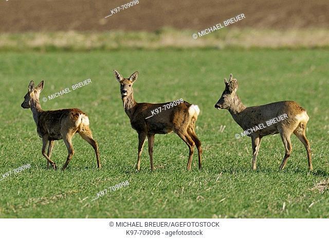 Roe deer and Roe buck, Capreolus capreolus, March, Germany