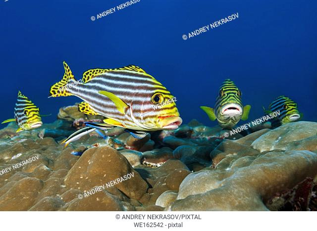 Group of Oriental Sweetlips (Plectorhinchus vittatus) on cleaning station, Indian Ocean, Maldives