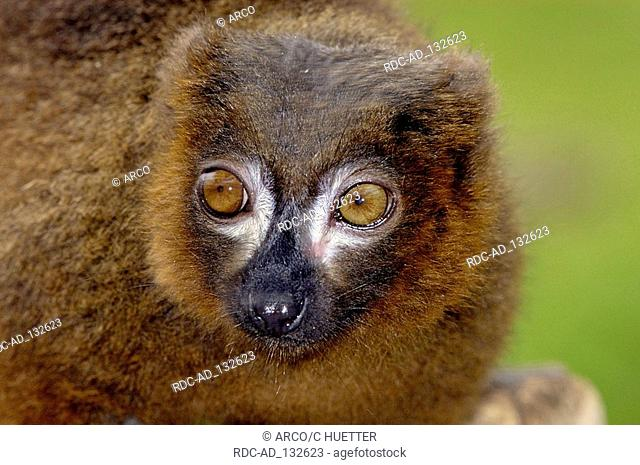 Red-bellied Lemur Eulemur rubriventer