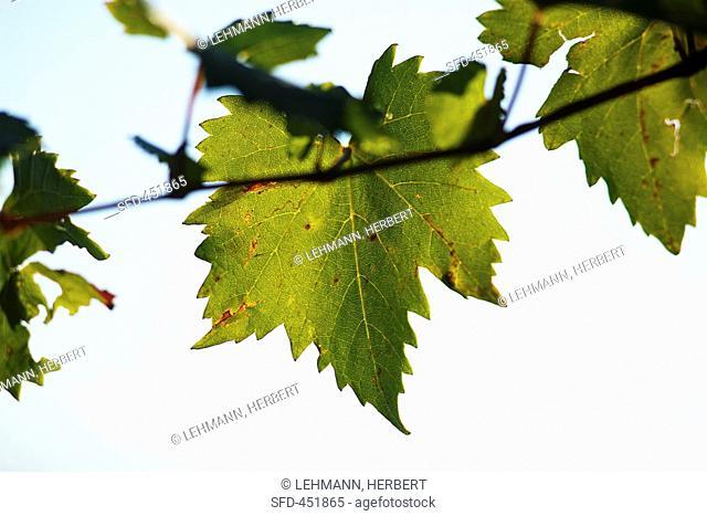 Ribolla gialla Rebe leaves, Slovenia