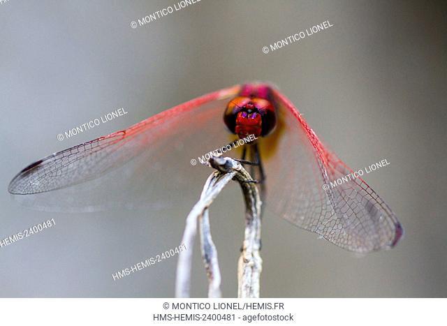 Madagascar, Menabe region, massif of Bemaraha, red dragonfly (Sympetrum sanguineum)