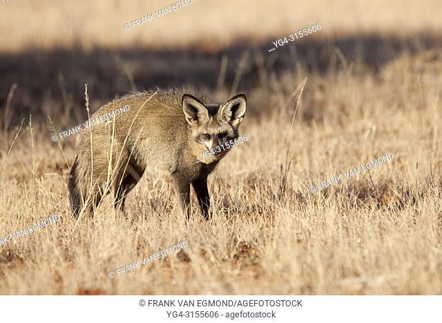 Bat Eared Fox (Otocyon megalotis). Mokala National Park, South Africa