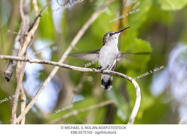 A wild juvenile bee hummingbird, Mellisuga helenae, Zapata National Park, Cuba
