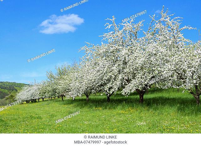 Blooming apple trees in the meadow in spring, Werbach, Taubertal, Tauberfranken, Main-Tauber-district, Baden-Württemberg, Germany