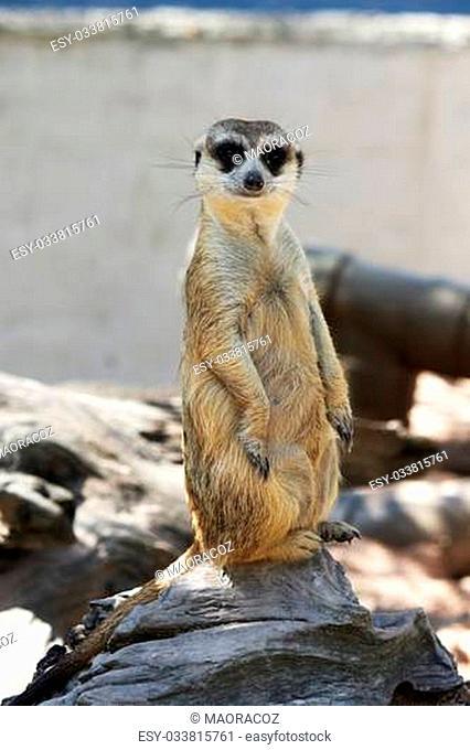 Alert meerkat sitting upright on its hind legs
